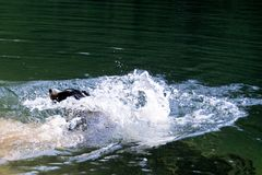 Appenzell swiss mountain dog  on the river.  stock photos