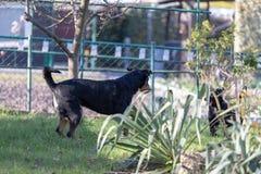 Appenzeller山狗使用与拉布拉多混合小狗户外 免版税库存图片