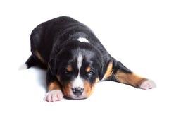 appenzeller παλαιό κουτάβι sennenhund δύο εβδομάδες Στοκ εικόνες με δικαίωμα ελεύθερης χρήσης