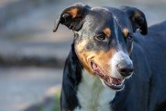 Собака горы Appenzeller, портрет конца-вверх собаки стоковая фотография