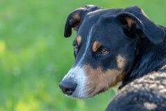 Собака горы Appenzeller, портрет конца-вверх собаки стоковые фотографии rf