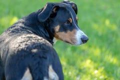 Собака горы Appenzeller, портрет конца-вверх собаки стоковые изображения