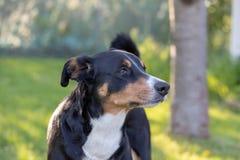 Собака горы Appenzeller, портрет конца-вверх собаки стоковые фото