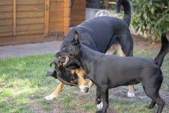 Appenzeller berghund och blandad hund royaltyfri foto