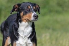 Appenzeller berghund, st?ende av en hundn?rbild royaltyfri foto
