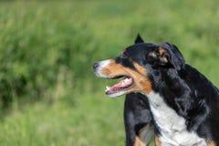 Appenzeller-Gebirgshund, Portr?t einer Hundenahaufnahme lizenzfreies stockfoto
