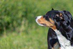 Appenzeller-Gebirgshund, Portr?t einer Hundenahaufnahme stockfotografie