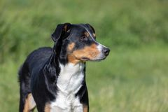 Appenzeller-Gebirgshund, Portr?t einer Hundenahaufnahme stockbild
