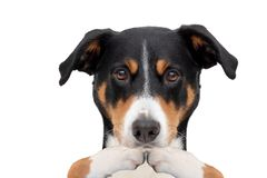 Covering the mouth dog with paws. Appenzeller Mountain Dog covering the mouth dog with paws stock images
