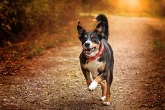 Appenzeller Mountain Dog royalty free stock photography