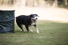 Appenzeller Mountain Dog running Royalty Free Stock Images
