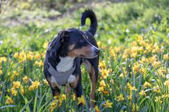 Appenzeller mountain dog in tulip flowers. Pet in supring in nature royalty free stock photography