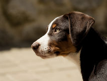 Appenzeller puppy Stock Photography