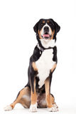 Appenzeller sennenhond sitting and looking. Happy dog photographed in the studio on a white background royalty free stock photo
