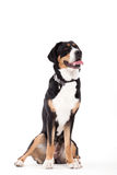Appenzeller sennenhond sitting on white. Happy dog photographed in the studio on a white background stock photo