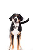 Appenzeller sennenhond standing and looking. Happy dog photographed in the studio on a white background royalty free stock image
