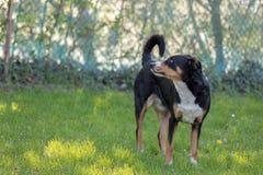 Appenzeller Sennenhund Собака стоит в парке весной Портрет собаки горы Appenzeller стоковая фотография