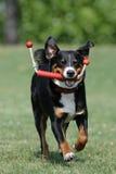 appenzeller sennenhund Στοκ φωτογραφία με δικαίωμα ελεύθερης χρήσης