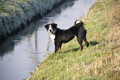 Appenzeller Sennenhund Images libres de droits
