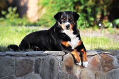 Appenzeller sennenhund dog portrait. In summer Royalty Free Stock Image