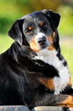Appenzeller sennenhund dog portrait in summer Stock Images