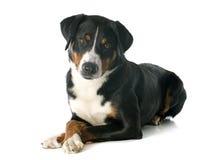 Appenzeller Sennenhund Stock Images
