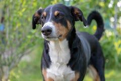 Appenzeller Sennenhund Hunden st?r i parkerar i v?r St?ende av en Appenzeller berghund royaltyfri fotografi