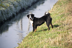 Appenzeller Sennenhund. The Appenzeller Sennenhund is a medium sized mountain dog  from the Swiss Alps- Appenzell region,  and was originally kept primarily as a Royalty Free Stock Images