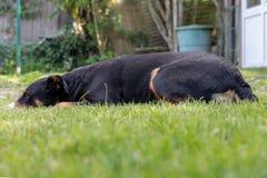 Appenzeller Sennenhund Pies k?ama w trawie Portret Appenzeller g?ry pies zdjęcie stock