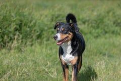 Appenzeller Sennenhund Pies stoi w parku w wio?nie Portret Appenzeller g?ry pies obraz stock