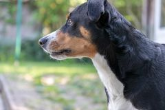 Appenzeller Sennenhund Pies stoi w parku w wio?nie Portret Appenzeller g?ry pies obraz royalty free