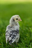 Appenzeller Spitzhauben Chick in the Grass Royalty Free Stock Photos