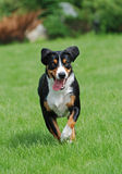appenzellersennenhund Royaltyfria Bilder