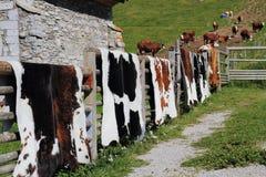 Appeso su una rete fissa di legno perfezionamento le pelli bovine fotografie stock