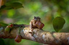 appetito dello scoiattolo fotografia stock