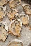 Appetizer Raw oysters on ice  Display. A appetizer Raw oysters on ice  Display Stock Images