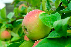 Appetizing apple on branch Royalty Free Stock Images