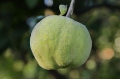 Appetizing delicious quince fruits unripe Stock Images