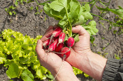 Appetizing fresh radishes in hands on background of the vegetabl Stock Photography