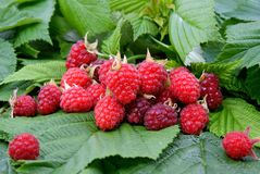 Appetizing raspberry Royalty Free Stock Photography