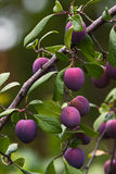 Appetizing ripe plums. Royalty Free Stock Photos