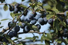Blue plums on a tree. Appetizing ripe sweet blue little plums on a tree autumn havest stock photos