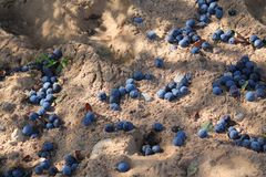 Blue plums on sand. Appetizing ripe sweet blue plums on white grain sand autumn havest on the ground stock images