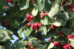 Red berry on branch. Appetizing ripe sweet hawtorn berry on branch in warm sunny autumn day stock images