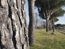 Appian Way (Appia Antica) pine trees with bark tex Stock Images