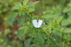 Appias hombroni, Indonesian White Butterfly Royalty Free Stock Photos