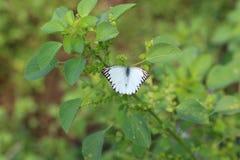 Appias hombroni, Indonezyjski Biały motyl Zdjęcia Royalty Free