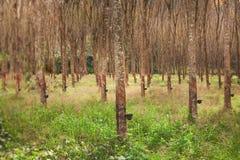Apping gummi, lifes för Rubber koloni, bakgrund för Rubber koloni, gummiträd i Thailand Royaltyfria Bilder