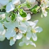 Appl-boom bloemen Stock Afbeeldingen