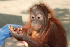 Applaudissements de singe photos stock